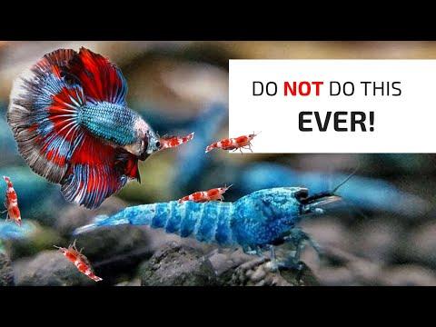Betta Fish Kills Expensive Shrimp!