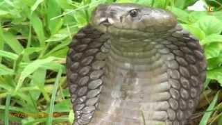The Kwale Snake Charmer