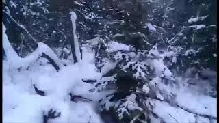 Охота на медведя с Лайками и Гончаком. Bear hunting with dogs.