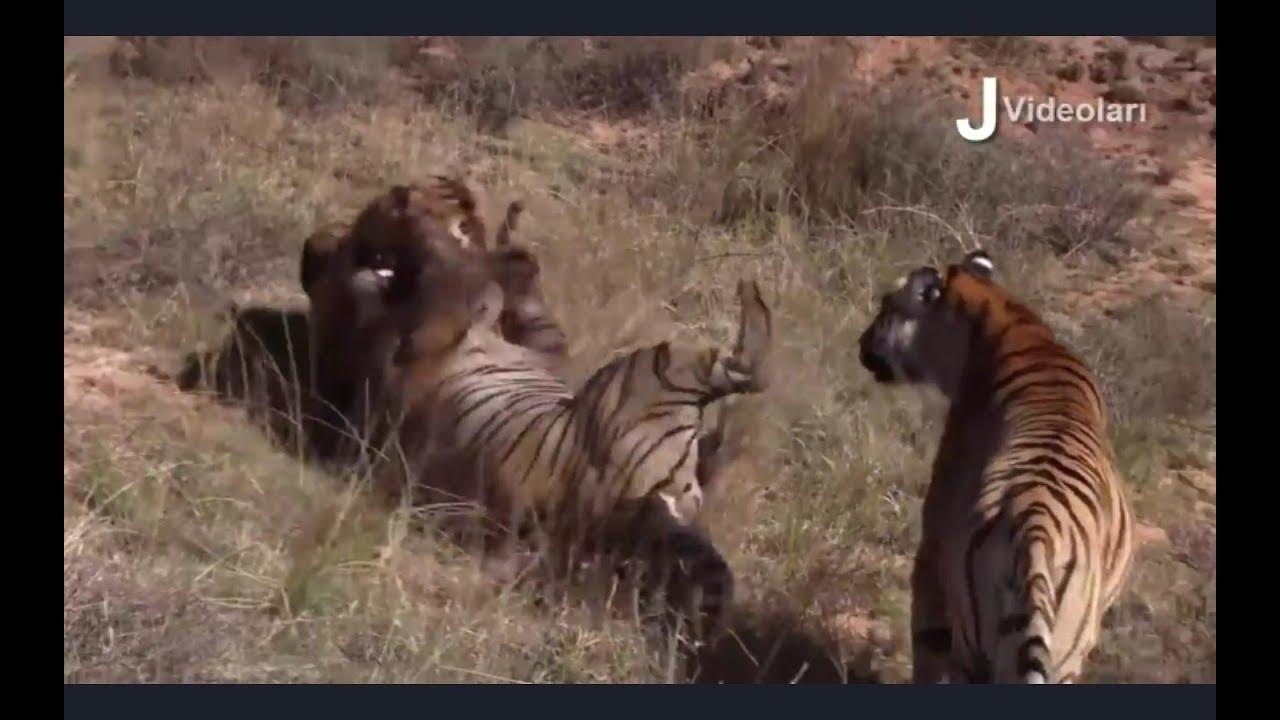 Битвы животных. Нападения хищников.