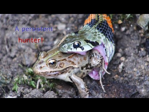 A Persistent Hunter - Snake. Red-sided Water Snake Hunting Black-spotted Pond Frog