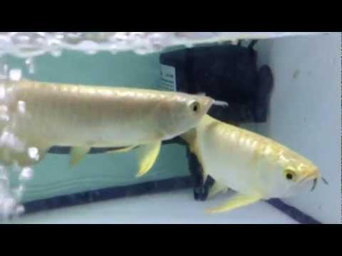 Long Yu Arowana 24K Golden & Blue Base Golden Crossback