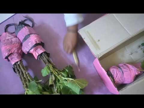 beli-tanaman-tin-berupa-fresh-cangkok-selain-lebih-ekonomis-juga-aman-dalam-pengiriman