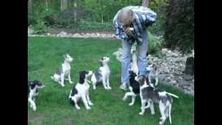 Borzoi Puppies Like Harmonica
