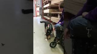 Service Dog Does Item Retrieval For Disabled Handler