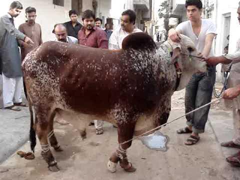Cow Qurbani 2009 Khurram *Pappu Bhai Qurbani* - YouTubeQurbani Cow 2009