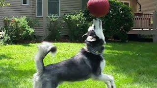Cute Siberian Husky Loves To Play Basketball