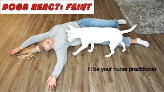 Dogs React to Pretend Faint. Basenji VS Bull Terrier Reaction