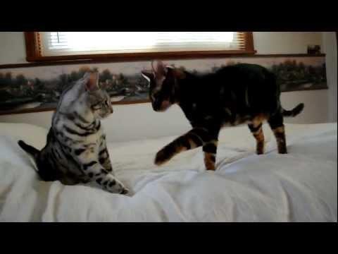 Jinx vs. Angel.. Toyger cat takes on Bengel cat