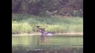 Moose Encounter - Missinaibi River