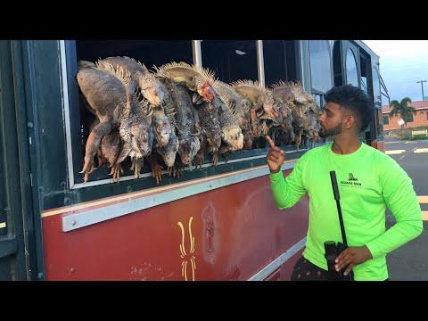 EPIC Iguana Hunt With Pellet Gun In Puerto Rico-Filling A BUS FULL Of Iguanas!