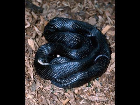 Westen Black Rat Snakes return from hybernation for the new year