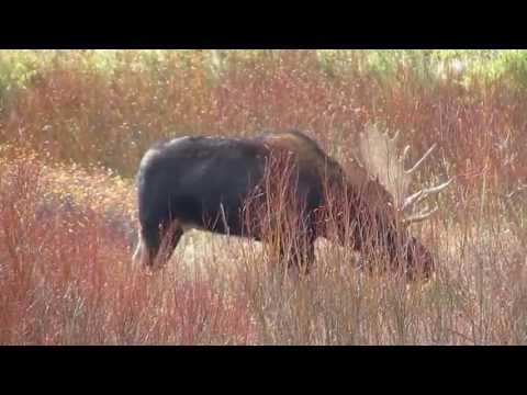 Evil / Racist Moose @ Yellowstone VIOLATES Govt' Shut Down (Oct 11, 2013)