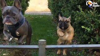 Baby French Bulldog Is Obsessed With Her Big Brother