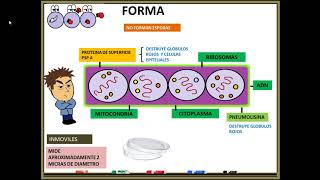 Estreptococo pneumoniae