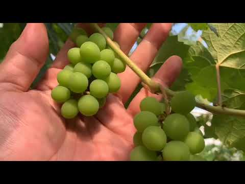 How to grow grapes in Metro Manila and other Urban Gardening tips