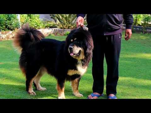 Tibetan Mastiff Royal Breed In World 😱Scoobers