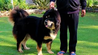 First White Tibetan Mastiff In India || Tibetan Mastiff Royal Breed In World Scoobers