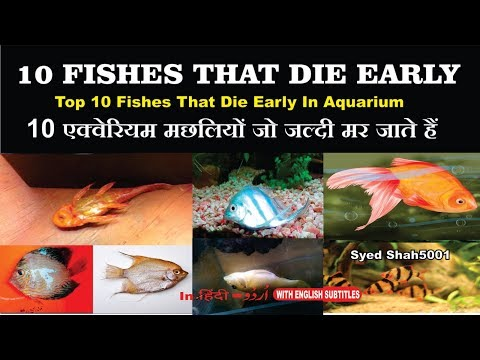 10 AQUARIUM FISH THAT DIE EARLY EASILY 10 एक्वैरियम मछली जो एक्वेरियम में जल्दी मर जाती हैं
