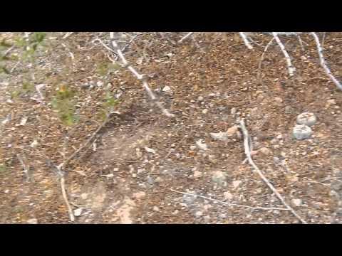 2/2 Big Bend Texas Peyote Plants Cactus Hunt Mescaline Native American Church