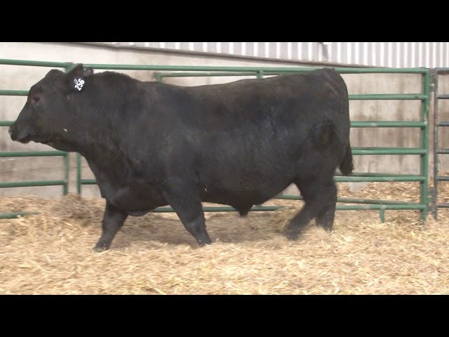 Schiefelbein Angus Farms Lot 256