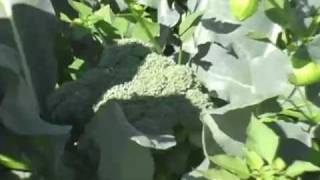 How to Grow 2 Crops Broccoli From the Same Plants