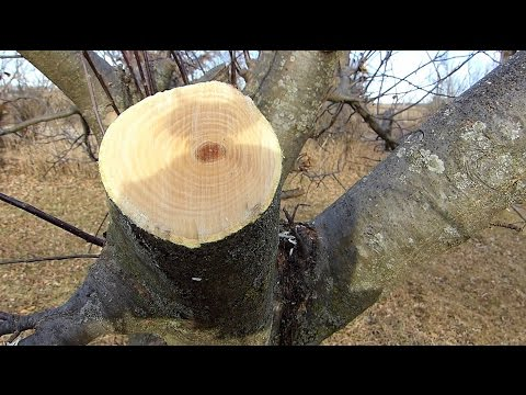 Fruit Tree pruning for better Production