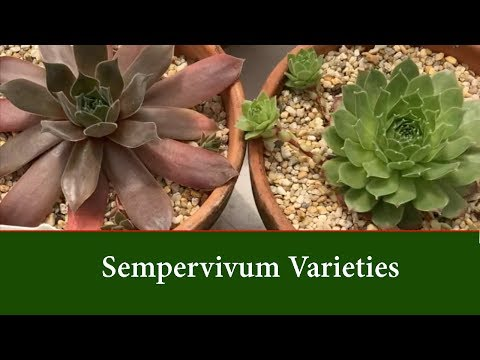 Sempervivum Plants (Hen and Chick Succulents) Varieties or Types.