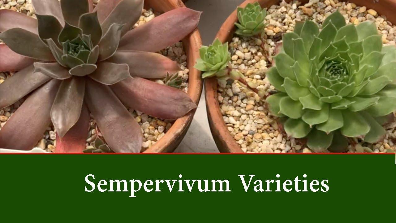 Sempervivum Varieties Hen And Chick Succulents Cold Tolerant