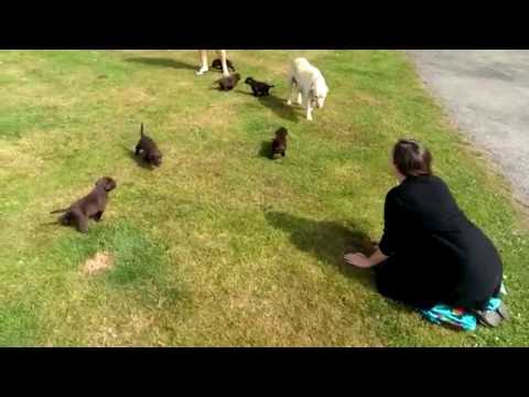 Choosing A Chocolate Labrador Puppy