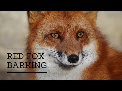 The Sound Of A Fox Barking