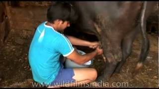 Milking a buffalo in New Delhi