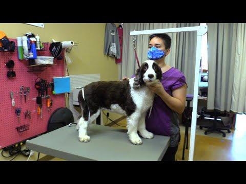 Dog Live English Springer Spaniel Groom