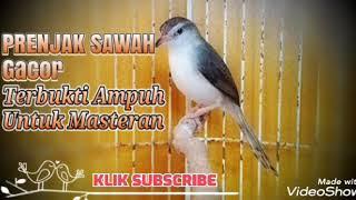 Download Prenjak Sawah Gacor