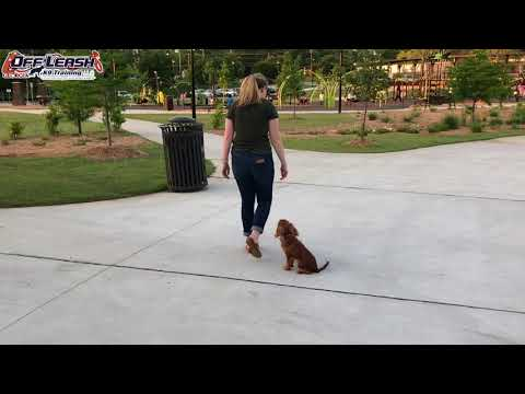 """6 Month Old Cavalier King Charles Spaniel """"Lady"""" Before/After Video   Georgia Dog Trainers"""