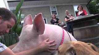 Happy 2nd bday Esther the Wonder Pig - Is that enough kisses from Shelby?