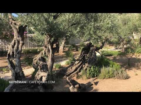 Getsemani, Jerusalem, Israel, Cafetorah Com