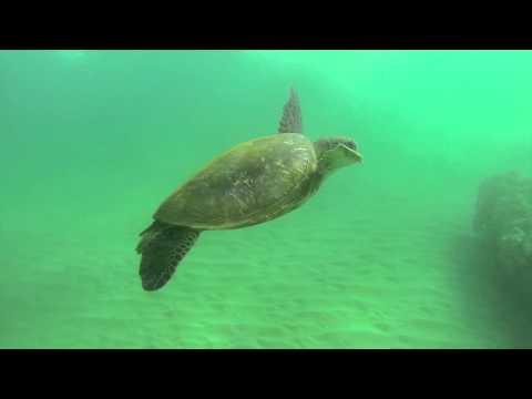 Maui Snorkeling Spots: Where To Find Sea Turtles - Maui Hawaii