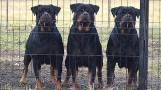 10 Reasons Why You Should Have A Rottweiler