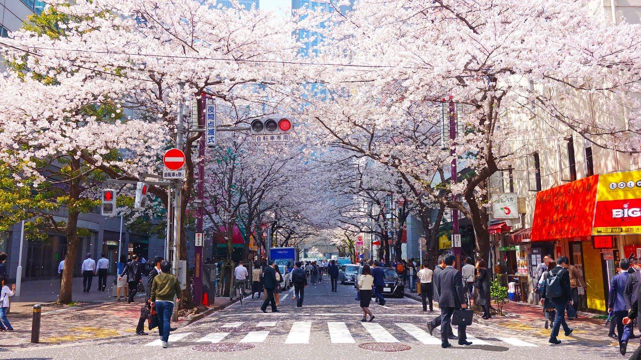 Мое откровение. Пьющие японцы, смущенные японки, Сакура ...