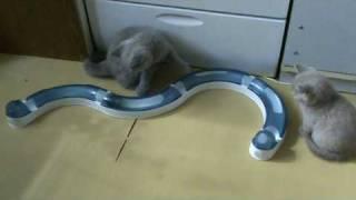 """Британский котенок и интерактивная игрушка Catit Circuit. (Серия """"Любимые игрушки"""")"""