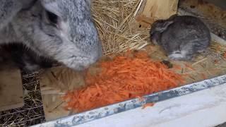 Маленьким крольчатам 18 дней. Новорожденные кролики подросли.
