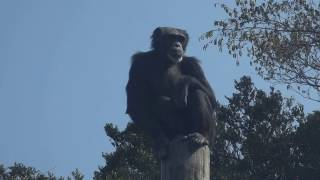 チンパンジー 伊豆シャボテン動物公園に行って来ました~! 2017年3月19日.