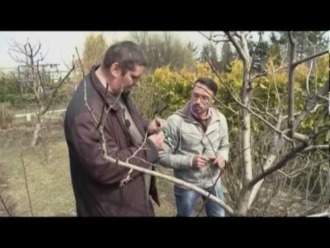 Прививка плодовых деревьев. Загородные премудрости. Выпуск 6
