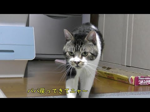 パパが突然いなくなったので挙動不審になっちゃうリキちゃん『パパー!』と呼ぶ猫【リキちゃんねる 猫動画】Cat video キジトラ猫との暮らし