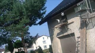 Loty golebi mlodych 2018 pierwszy lot  Wrocław  150 Km o 147 Racibórz