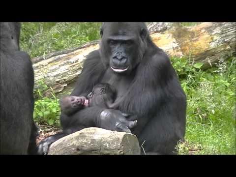 13 day old gorillatwin @Burgers' Zoo