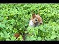 Sincap Karamel artık bahçede koşturuyor