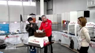 Монопородное шоу среди шотланской породы котов