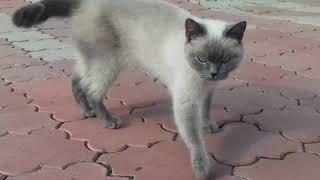 Отдам кошку . Смесь с сиамской  .